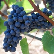 Pinot Noir grapes
